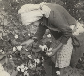 George Wiley's daughter picking cotton